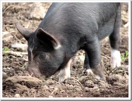 Truffle-hunting pig
