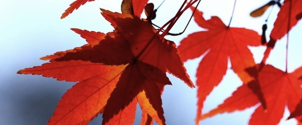Red and orange leaves against a blue sky.